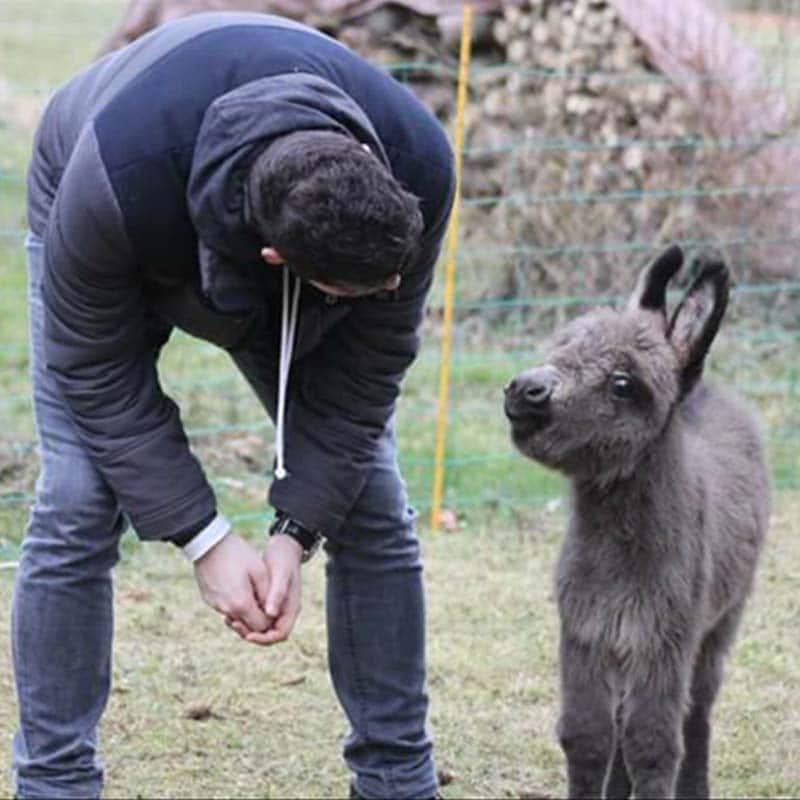 ânes miniatures avec homme