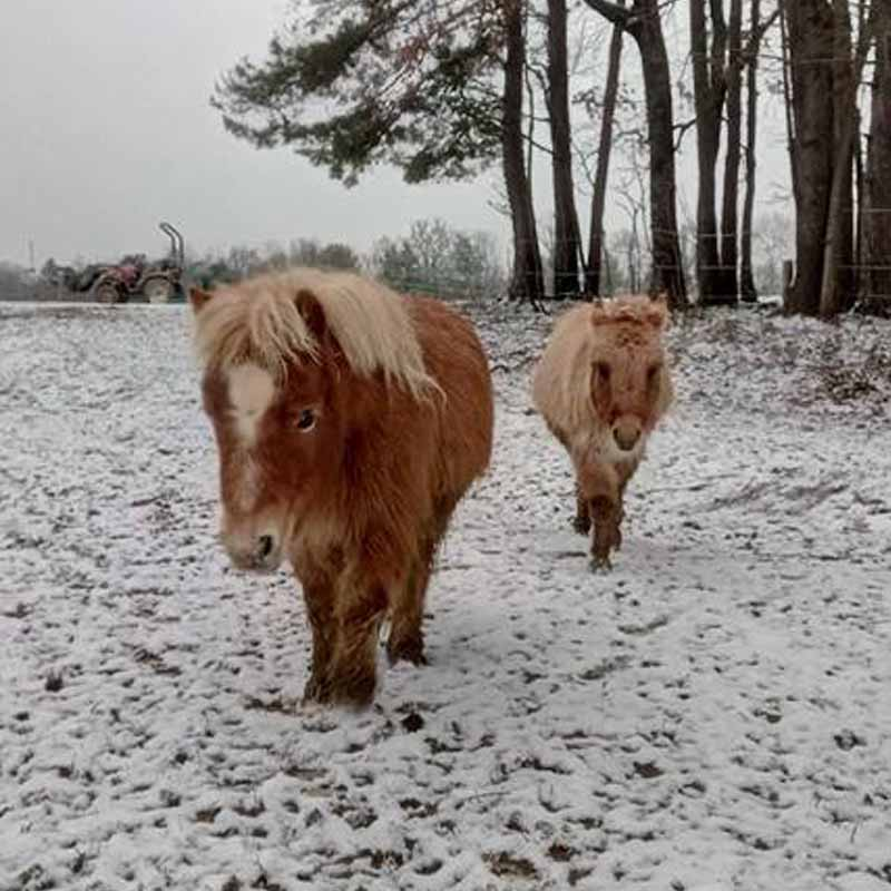 âne miniature hiver