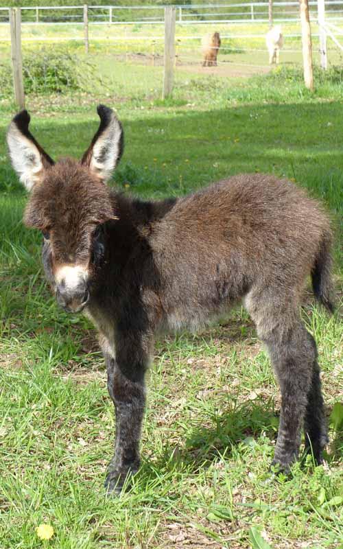 Naissances de bébés ânes illico