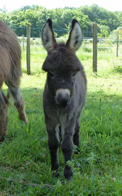 Naissances de bébés ânes infinie