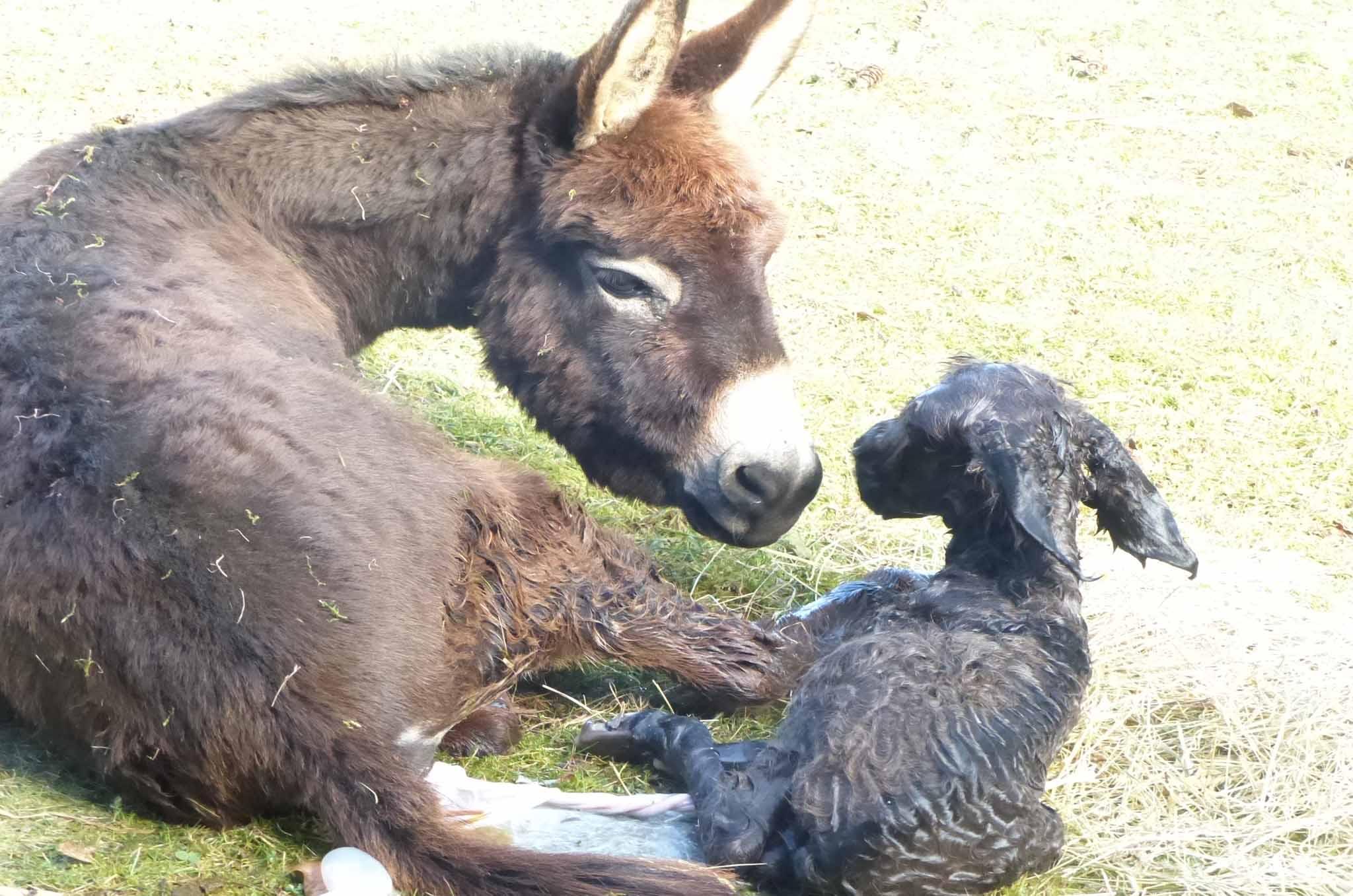 prix d'un âne bébé et maman