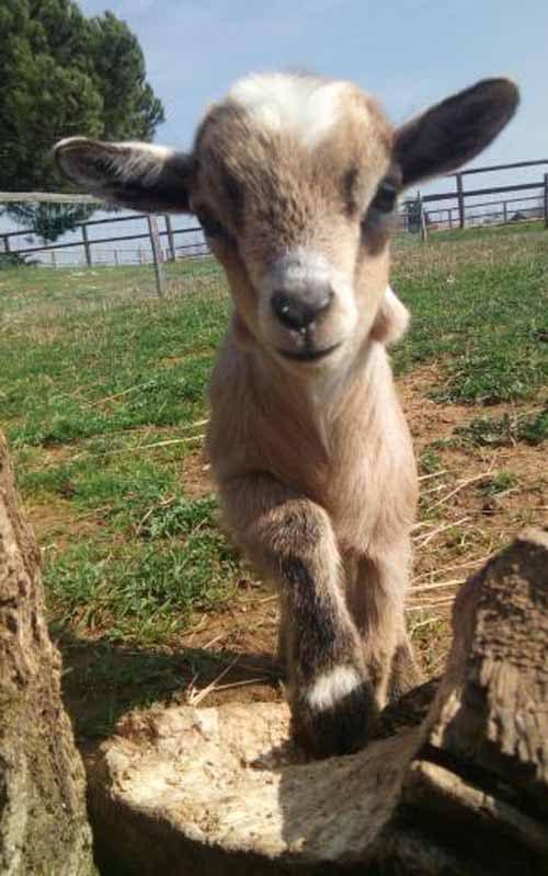 Naissances de bébés ânes nokia