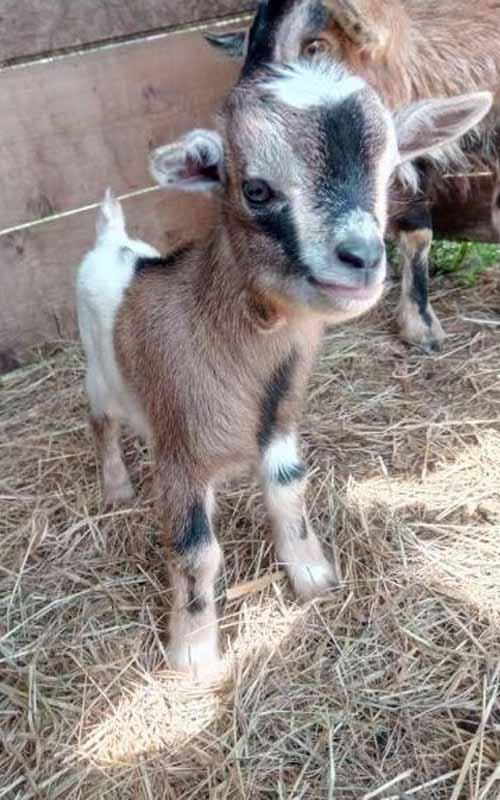 ânes miniatures à vendre okapie